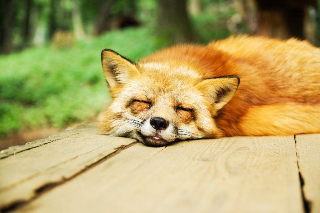 animal, fox, cute