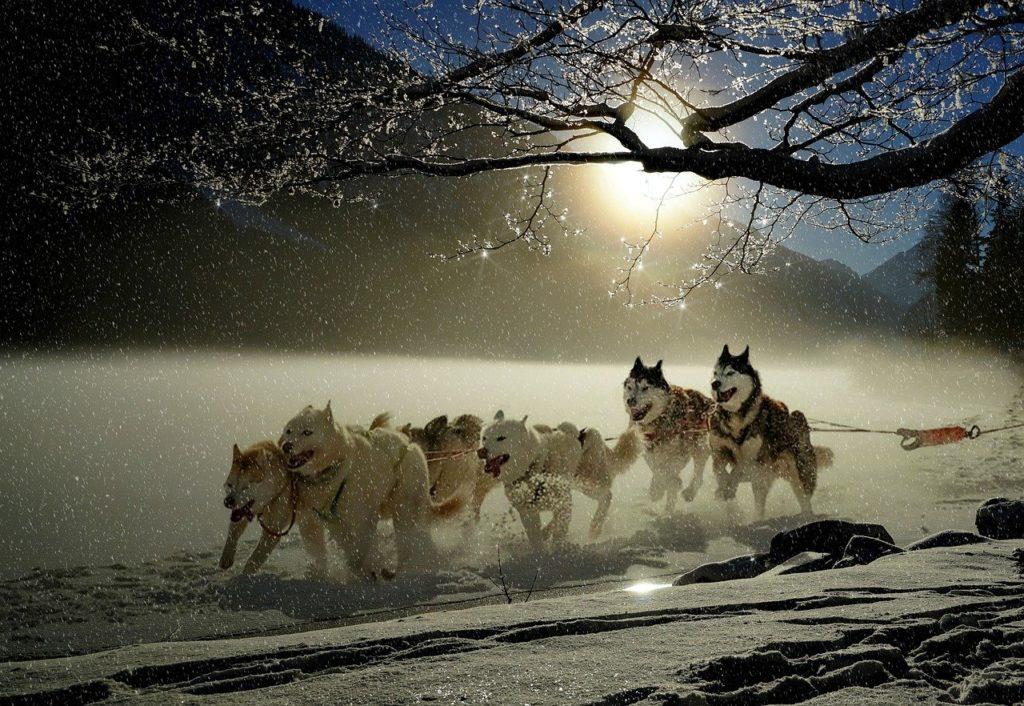 dogs, huskies, animal